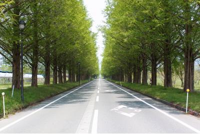 マキノ高原 メタセコイア並木道